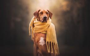 Picture background, dog, scarf, Rhodesian Ridgeback