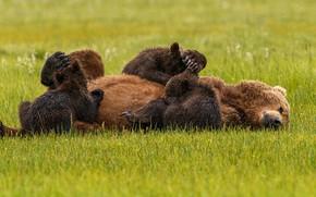 Picture grass, pose, bear, bears, lies, kids, bears, bear, breastfeeding, suckers