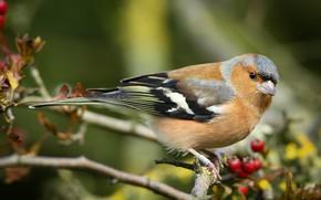 Picture bird, branch, Chaffinch