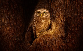 Picture look, tree, owl, bird, bark, the hollow, owl