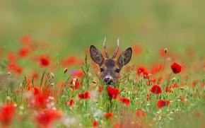 Picture field, flowers, nature, animal, Maki, head, deer