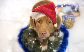 Picture look, pose, dog, red, Christmas, gifts, puppy, New year, garland, tinsel, face, needles, light background, …