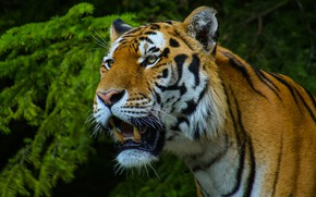 Picture face, branches, tiger, portrait, mouth, needles