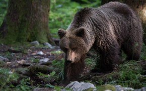 Picture forest, look, face, nature, pose, stones, tree, bear, bear, walk, brown