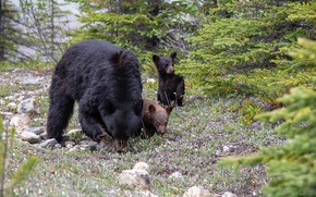 Picture nature, Family, North American Black Bear