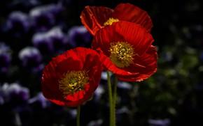 Wallpaper macro, red, anemone
