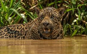 Picture face, water, Jaguar, wild cat, Alexander Markelov