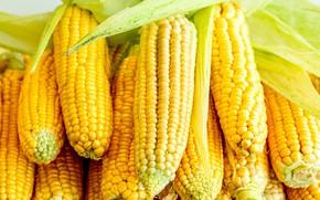 Picture corn, harvest, the cob