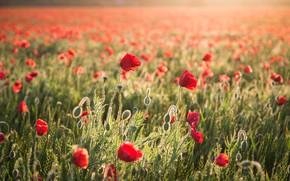 Picture wheat, summer, flowers, Maki, ears, cereals, poppy field