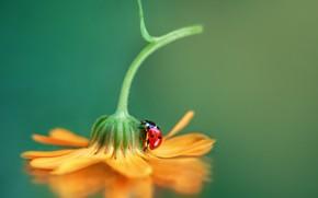 Picture flower, macro, ladybug, beetle