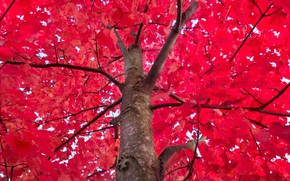 Picture Red, Tree, Autumn