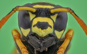 Picture macro, OSA, portrait, insect