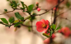 Picture flowers, branches, spring, red, flowering, quince