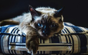 Picture cat, cat, look, face, strips, pose, background, dark, paw, portrait, mattress, lies, twilight, mattress, Siamese, …