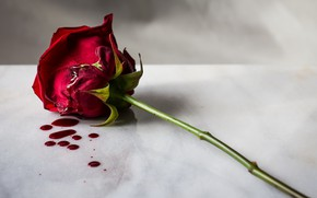Picture flower, blood, rose