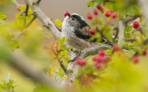Picture look, leaves, branches, yellow, green, berries, background, tree, bird, branch, fruit, bird, titmouse, tit, long-tailed …