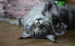 Picture cat, cat, look, face, pose, grey, background, stay, relax, paw, floor, lies, fur, Maine Coon
