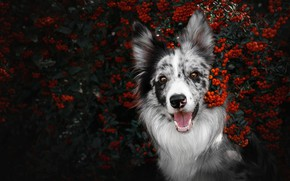 Picture autumn, language, look, face, branches, nature, berries, portrait, dog, fruit, mouth, red, Rowan, the border ...