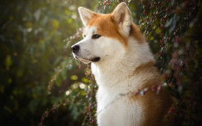 Picture look, face, branches, nature, green, berries, background, portrait, dog, fruit, profile, red, bokeh, Shiba inu, …