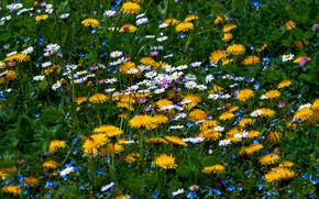 Picture field, summer, flowers