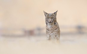 Picture look, nature, pose, background, portrait, lynx, wild cat, blurred