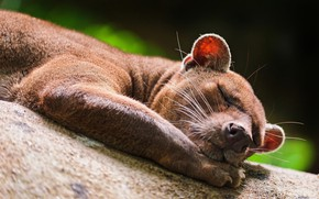 Picture sleeping, fossa, FOSS