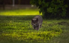 Picture cat, grass, cat, look, grey, Bush, walk, lawn, sneaks, British
