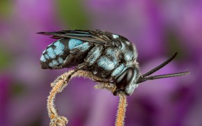 Picture macro, bee, background, lilac, stem, insect, blue