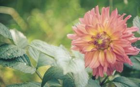 Picture greens, flower, summer, paint, tenderness, Dahlia