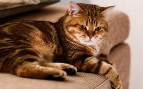 Picture cat, cat, look, pose, sofa, paws, red, lies, face, brown, striped, the expression, home, pedigree, …