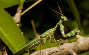 Picture look, leaves, pose, green, the dark background, legs, branch, mantis, alien, insect, antennae