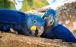 Picture birds, tree, parrot, pair, parrots, blue, two birds, two parrots