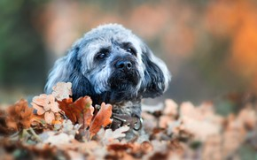 Picture autumn, look, leaves, foliage, portrait, dog, face, bokeh, The Tibetan Terrier