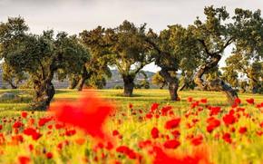 Picture field, trees, flowers, Maki, Spain, oaks, Badajoz, La Serena