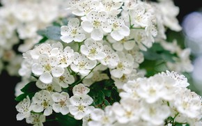 Picture white, inflorescence, cherry