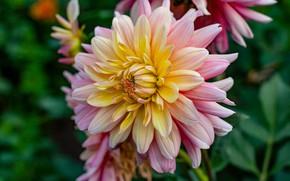 Picture flower, macro, garden, two-tone, Dahlia, yellow, yellow-pink