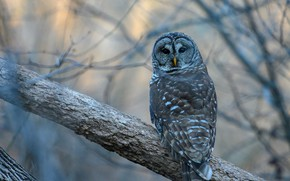 Picture branches, owl, bird, a barred owl