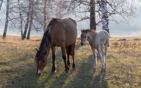 Picture field, look, trees, branches, nature, fog, glade, horses, morning, horse, birch, Russia, lawn, mother, foal, …