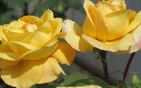 Picture Flowers, Roses, Meduzanol ©, Yellow roses, Summer 2018