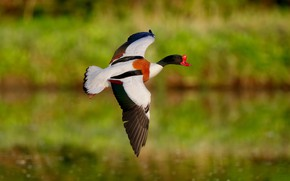 Picture greens, flight, bird, wings, flies, duck, pond, bokeh, bright plumage, the scope