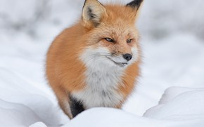 Picture winter, look, face, snow, nature, portrait, Fox, the snow, red, the expression, unhappy