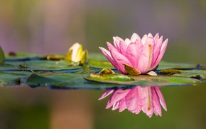 Picture leaves, water, reflection, Nymphaeum, water Lily