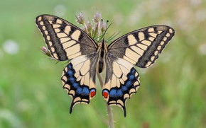 Picture summer, butterfly, swallowtail