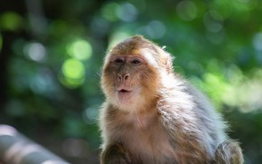 Picture portrait, look, light, background, monkey, the expression, face, monkey, monkey, bokeh