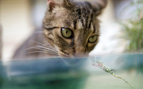 Picture cat, cat, look, face, water, close-up, grey, background, aquarium, frog, portrait, blur, striped, green eyes, ...
