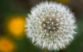 Picture background, dandelion, plant