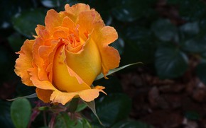 Picture rose, Bush, beauty, buds, orange rose