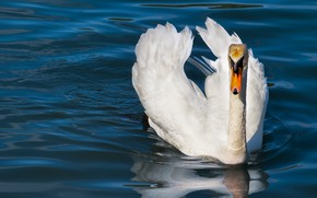 Picture white, water, nature, pose, bird, Swan, pond, blue background, swimming