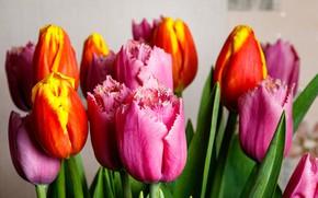 Picture bright, petals, tulips