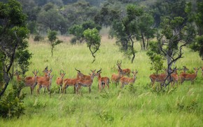 Picture trees, nature, a lot, the herd, antelope, antelope, artiodactyls